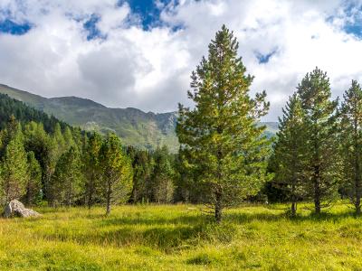 Zirbe in Landschaft